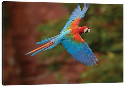 Red And Green Macaw Flying, Cerrado Habitat, Mato Grosso Do Sul, Brazil Canvas Art Print