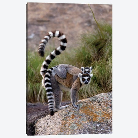Ring-Tailed Lemur Mother And Young, Vulnerable, Near Andringitra Mountains, South Central Madagascar Canvas Print #POX32} by Pete Oxford Canvas Art