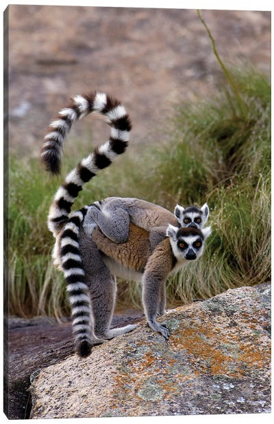 Ring-Tailed Lemur Mother And Young, Vulnerable, Near Andringitra Mountains, South Central Madagascar Canvas Art Print