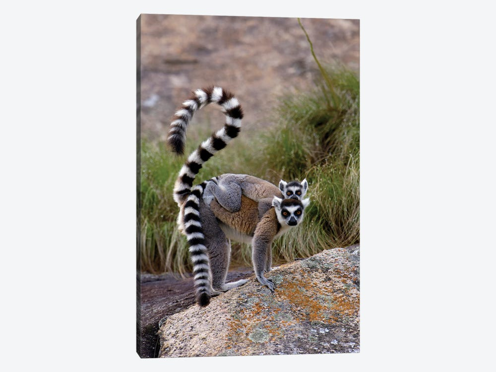 Ring-Tailed Lemur Mother And Young, Vulnerable, Near Andringitra Mountains, South Central Madagascar by Pete Oxford 1-piece Canvas Wall Art