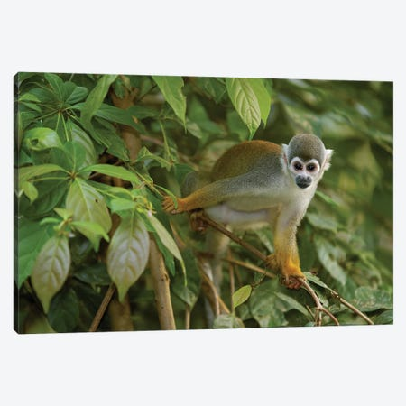South American Squirrel Monkey In Trees, Amazon Rainforest, Ecuador Canvas Print #POX35} by Pete Oxford Canvas Print
