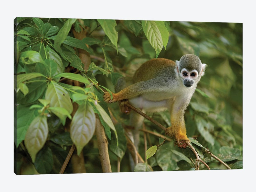 South American Squirrel Monkey In Trees, Amazon Rainforest, Ecuador by Pete Oxford 1-piece Art Print