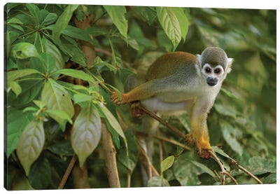 South American Squirrel Monkey In Trees, Amazon Rainforest, Ecuador Canvas Art Print