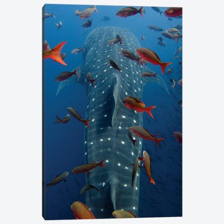Whale Shark Swimming With Other Tropical Fish, Wolf Island, Galapagos Islands, Ecuador Canvas Print #POX37} by Pete Oxford Art Print