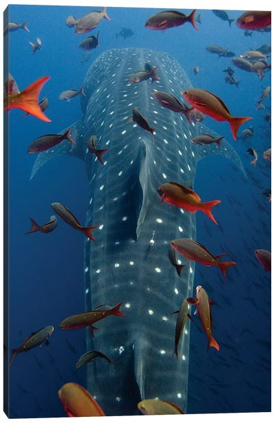 Whale Shark Swimming With Other Tropical Fish, Wolf Island, Galapagos Islands, Ecuador Canvas Art Print