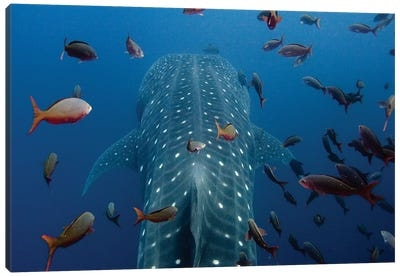 Close-Up Of Whale Shark Swimming With Other Tropical Fish, Wolf Island, Galapagos Islands, Ecuador Canvas Art Print