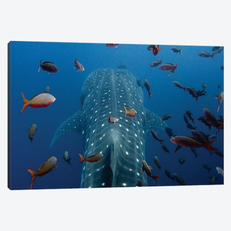 Close-Up Of Whale Shark Swimming With Other Tropical Fish, Wolf Island, Galapagos Islands, Ecuador Canvas Print #POX38} by Pete Oxford Canvas Artwork
