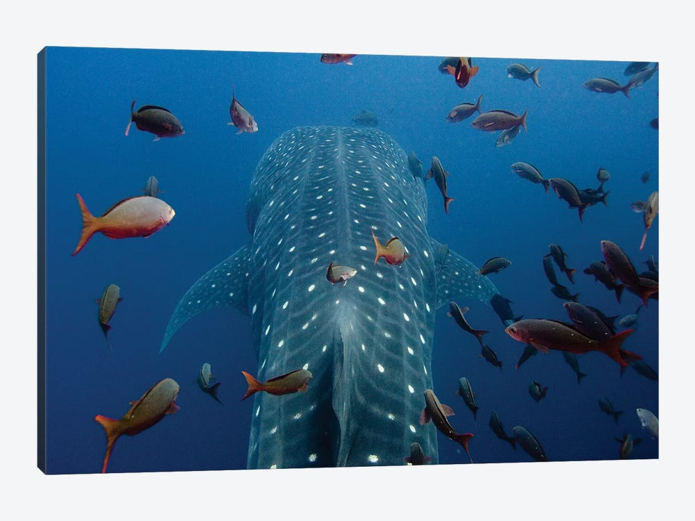 Close-Up Of Whale Shark Swimming With Other Tropical Fish, Wolf Island, Galapagos Islands, Ecuador by Pete Oxford 1-piece Canvas Artwork