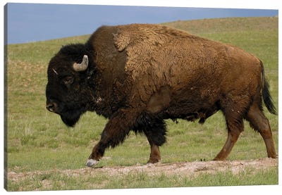 American Bison Male, Durham Ranch, Wyoming Canvas Art Print