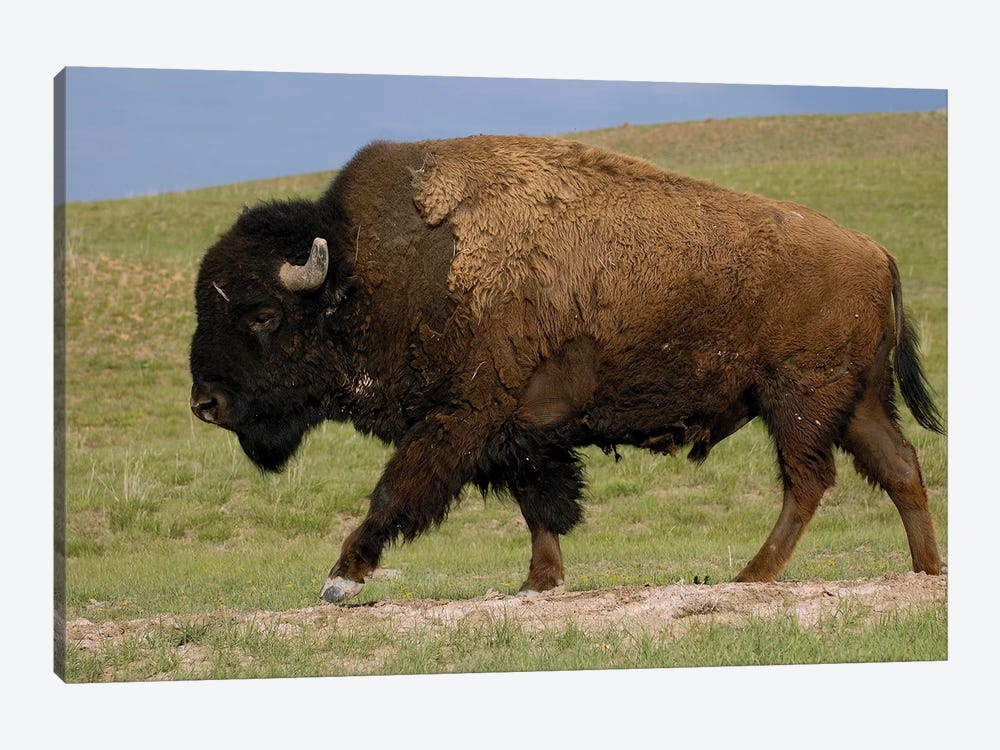 American Bison Male, Durham Ranch, Wyoming by Pete Oxford 1-piece Canvas Wall Art