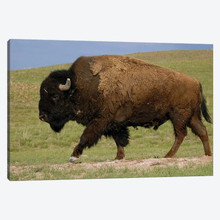 American Bison Male, Durham Ranch, Wyoming Canvas Print #POX3} by Pete Oxford Canvas Artwork