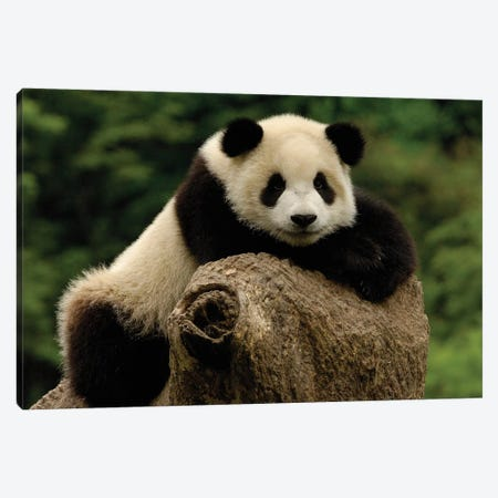 Giant Panda Baby, Wolong China Conservation And Research Center For The Giant Panda, Wolong Reserve, Sichuan Province, China Canvas Print #POX40} by Pete Oxford Canvas Art Print