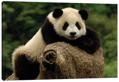 Giant Panda Baby, Wolong China Conservation And Research Center For The Giant Panda, Wolong Reserve, Sichuan Province, China Canvas Art Print