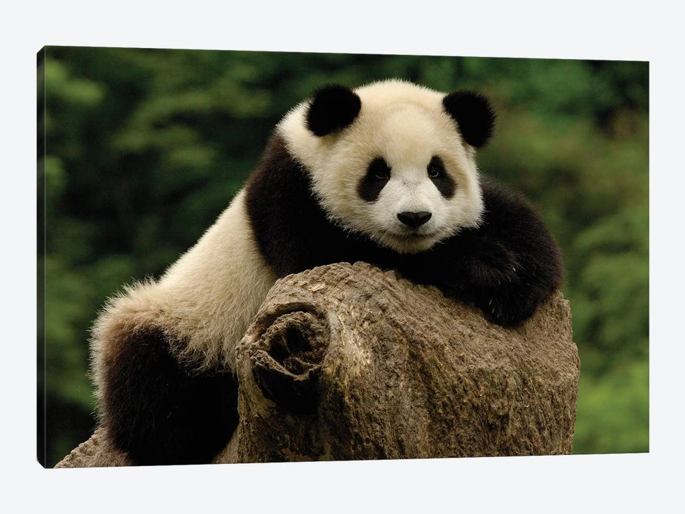 Giant Panda Baby, Wolong China Conservation And Research Center For The Giant Panda, Wolong Reserve, Sichuan Province, China by Pete Oxford 1-piece Art Print