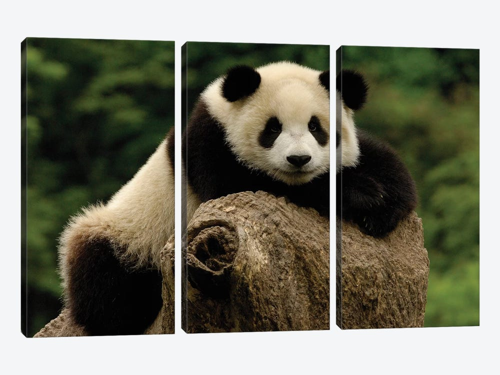 Giant Panda Baby, Wolong China Conservation And Research Center For The Giant Panda, Wolong Reserve, Sichuan Province, China by Pete Oxford 3-piece Canvas Art Print