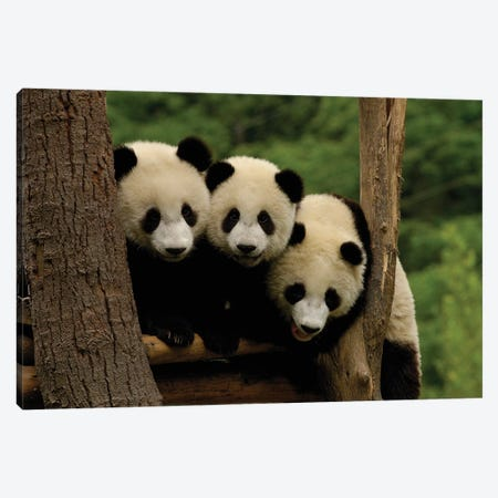 Giant Panda Babies, Wolong China Conservation And Research Center For The Giant Panda, Wolong Reserve, Sichuan Province, China Canvas Print #POX41} by Pete Oxford Canvas Print