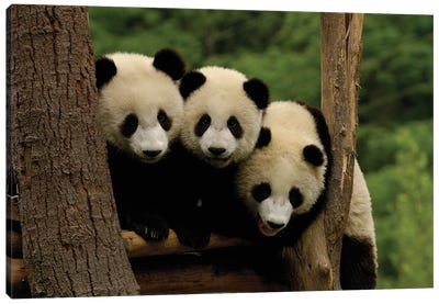 Giant Panda Babies, Wolong China Conservation And Research Center For The Giant Panda, Wolong Reserve, Sichuan Province, China Canvas Art Print