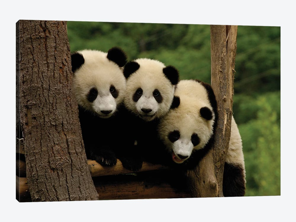 Giant Panda Babies, Wolong China Conservation And Research Center For The Giant Panda, Wolong Reserve, Sichuan Province, China by Pete Oxford 1-piece Canvas Artwork