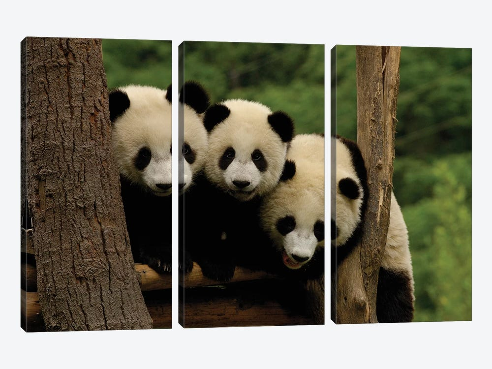 Giant Panda Babies, Wolong China Conservation And Research Center For The Giant Panda, Wolong Reserve, Sichuan Province, China by Pete Oxford 3-piece Canvas Wall Art