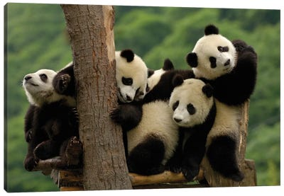 Giant Panda Babies, Wolong China Conservation And Research Center For The Giant Panda, Wolong Reserve, Sichuan Province Canvas Art Print