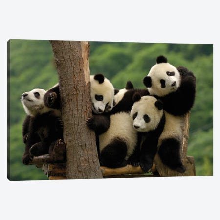Giant Panda Babies, Wolong China Conservation And Research Center For The Giant Panda, Wolong Reserve, Sichuan Province Canvas Print #POX42} by Pete Oxford Canvas Art Print