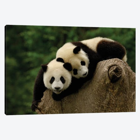 Giant Panda Babies, Conservation And Research Center For The Giant Panda, Wolong Reserve, Sichuan Province, China Canvas Print #POX43} by Pete Oxford Canvas Print