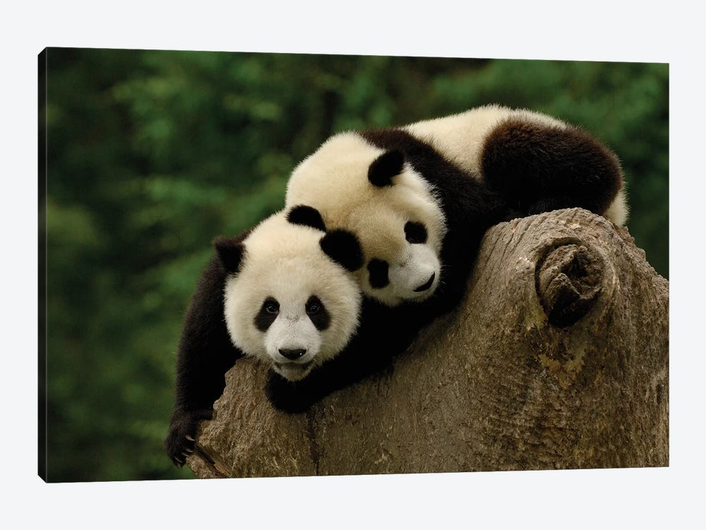 Giant Panda Babies, Conservation And Research Center For The Giant Panda, Wolong Reserve, Sichuan Province, China by Pete Oxford 1-piece Canvas Wall Art