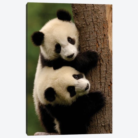Giant Panda Babies, Conservation And Research Center For The Giant Panda Within Wolong Reserve, Sichuan Province, China Canvas Print #POX44} by Pete Oxford Canvas Artwork