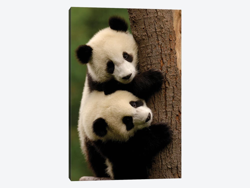 Giant Panda Babies, Conservation And Research Center For The Giant Panda Within Wolong Reserve, Sichuan Province, China by Pete Oxford 1-piece Art Print