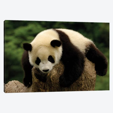 Giant Panda Baby, Conservation And Research Center For The Giant Panda, Wolong Reserve, Sichuan Province, China 3-Piece Canvas #POX45} by Pete Oxford Canvas Art