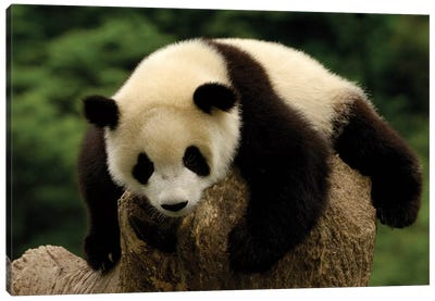 Giant Panda Baby, Conservation And Research Center For The Giant Panda, Wolong Reserve, Sichuan Province, China Canvas Art Print