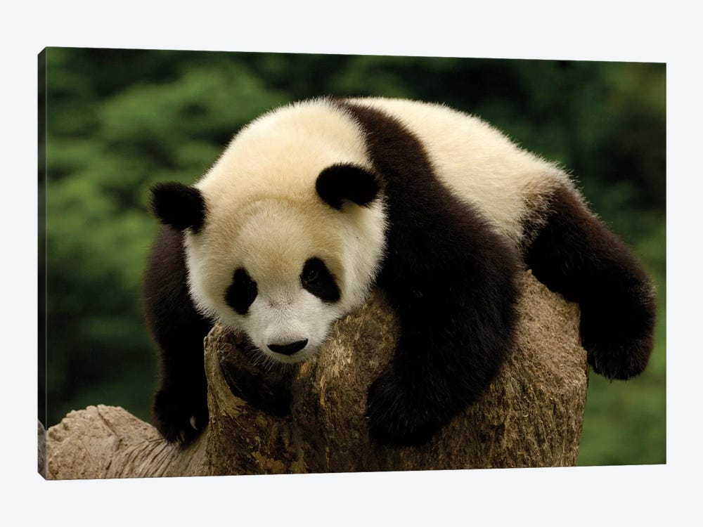Giant Panda Baby, Conservation And Research Center For The Giant Panda, Wolong Reserve, Sichuan Province, China by Pete Oxford 1-piece Canvas Wall Art