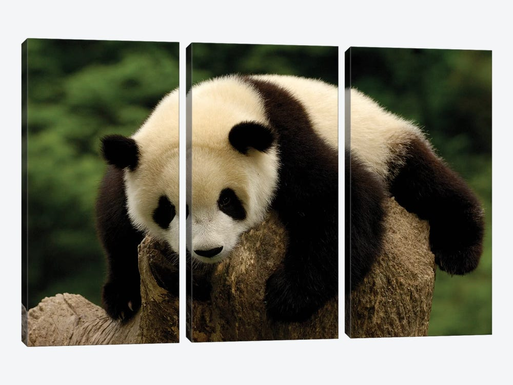 Giant Panda Baby, Conservation And Research Center For The Giant Panda, Wolong Reserve, Sichuan Province, China by Pete Oxford 3-piece Canvas Art