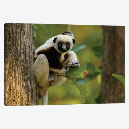 Coquerel's Sifaka Western Deciduous Forest, Ankarafantsika Strict Nature Reserve, Madagascar Canvas Print #POX8} by Pete Oxford Canvas Artwork