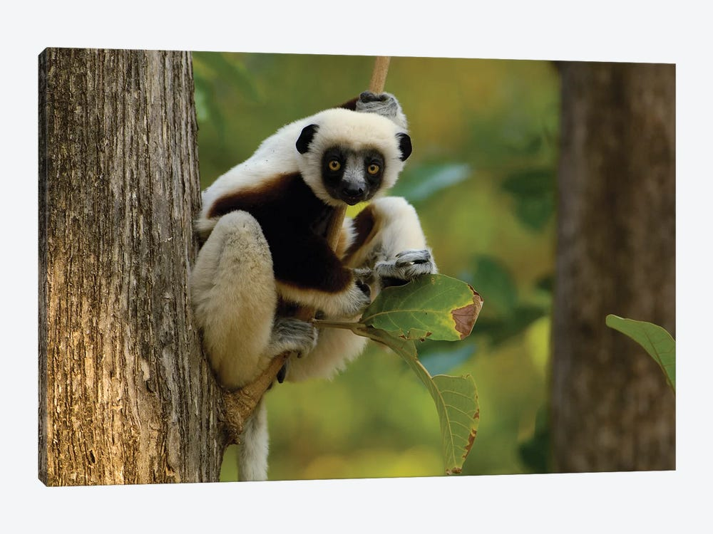 Coquerel's Sifaka Western Deciduous Forest, Ankarafantsika Strict Nature Reserve, Madagascar by Pete Oxford 1-piece Canvas Art Print