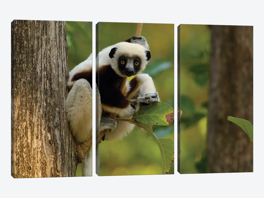 Coquerel's Sifaka Western Deciduous Forest, Ankarafantsika Strict Nature Reserve, Madagascar by Pete Oxford 3-piece Canvas Print
