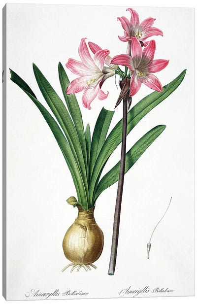 Amaryllis Belladonna, from 'Les Liliacees', engraved by de Gouy, 1802-16  Canvas Art Print