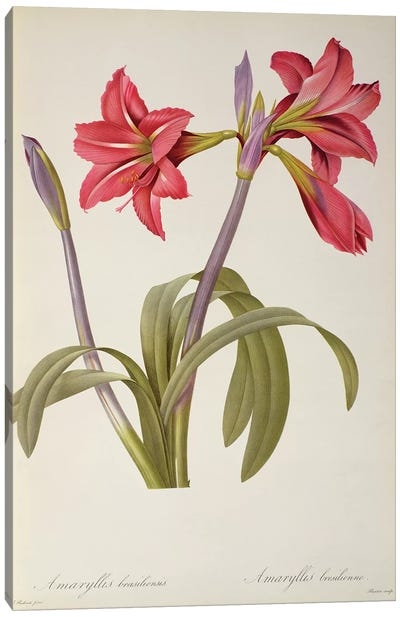 Amaryllis Brasiliensis, from `Les Liliacees' Canvas Art Print