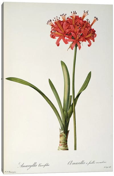 Amaryllis Curvifolia, 1809, from `Les Liliacees' Canvas Art Print