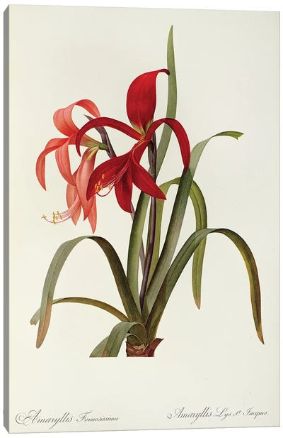 Amaryllis Formosissima, 1808, from `Les Liliacees' Canvas Art Print