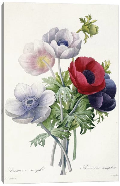 Anenome Simple, 1829  Canvas Art Print