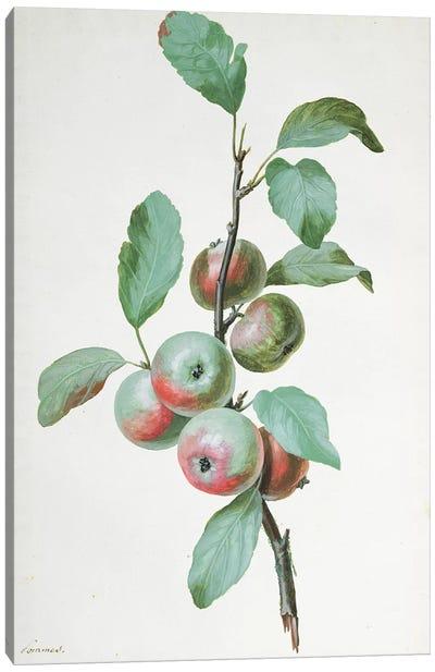 Apples  Canvas Art Print