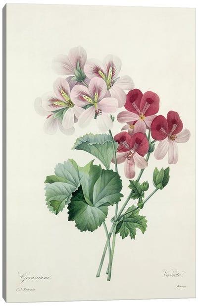 Geranium Variety  from 'Choix des Plus Belles Fleurs', 1827  Canvas Art Print