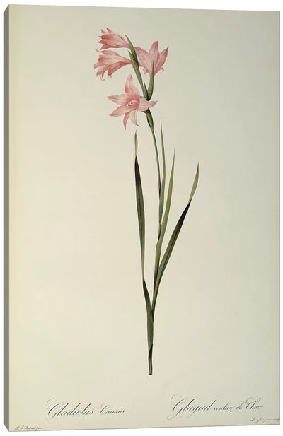 Gladiolus Carneus, from `Les Liliacees', 1804  Canvas Art Print