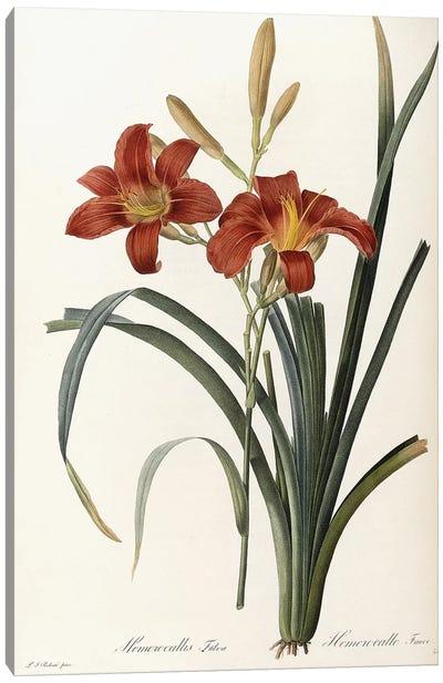 Hemerocallis Fulva - Hemerocalle Fauve , 1805-1816  Canvas Art Print