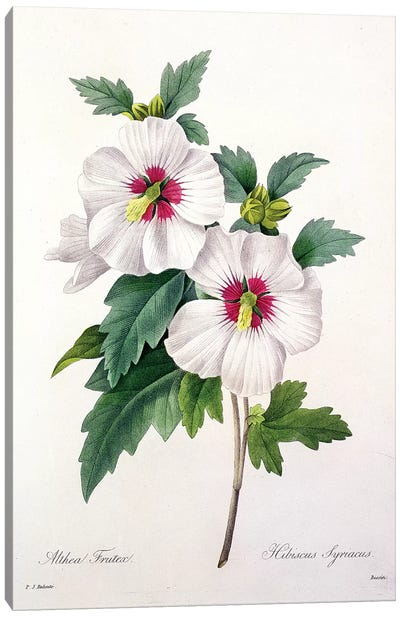 Hibiscus syriacus, engraved by Bessin, from 'Choix des Plus Belles Fleurs', 1827  Canvas Art Print