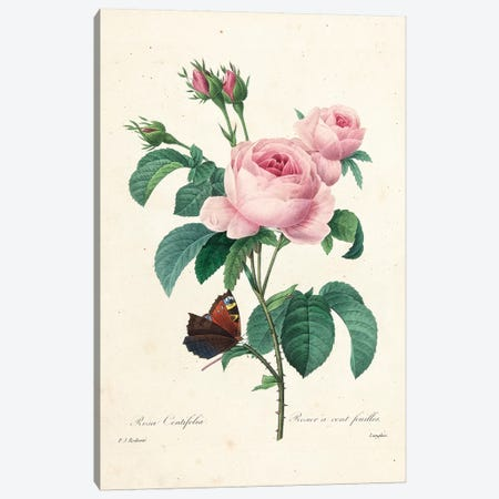 Hundred-Leaved Rose, engraved by Langlois, 1827-33  Canvas Print #PRE27} by Pierre-Joseph Redouté Art Print