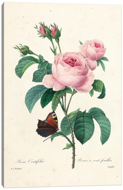 Hundred-Leaved Rose, engraved by Langlois, 1827-33  Canvas Art Print