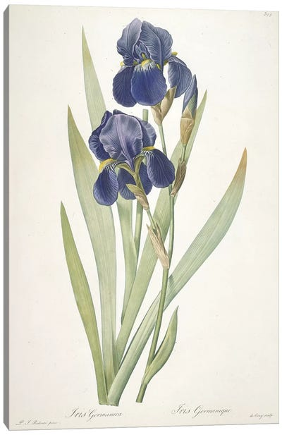 Iris germanica , 1812 Canvas Art Print