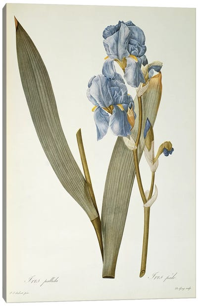 Iris Pallida, from `Les Liliacees', 1812  Canvas Art Print